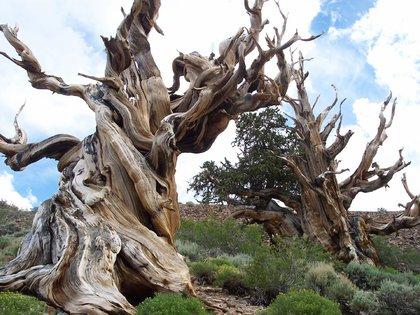 """Esta fotografía representa la imagen del pinus longaeva, la especie que hoy se lleva el primer puesto dentro de la famosa """"Lista Antigua"""" de ejemplares"""