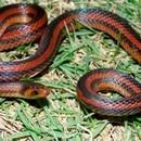 Atractus Marthae puede medir entre 10 y 30 centímetros de longitud