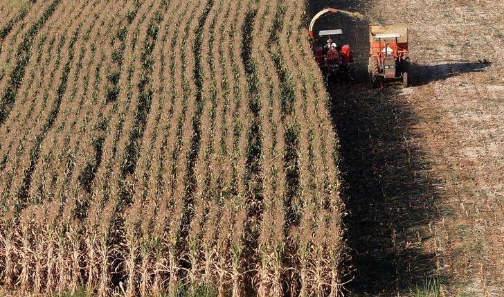 Informes privados resaltaron el nivel de exportaciones de maíz, que en lo que va del presente año superan a las de soja (Reuters)