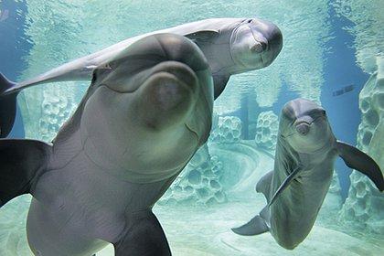 Este famoso delfín fue capturado frente a las costas de Ito en 1974 y pasó gran parte de su vida como miembro del acuario Kamogawa Sea World