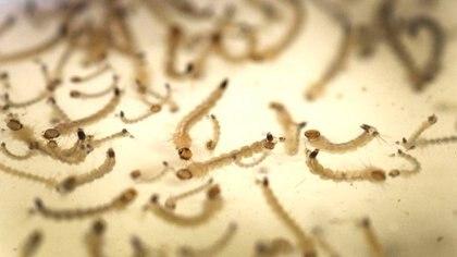 El Aedes Aegypti pone sus huevos en las paredes de recipientes donde hay agua estancada. Foto: Fernando Calzada.