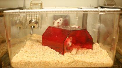 La denuncia en España muestra el lado oscuro de las pruebas regulatorias de toxicidad en animales (Flickr: Understanding Animal Research)