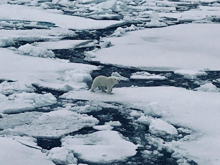Tras el rescate, así se veían los osos polares desde el rompehielos.