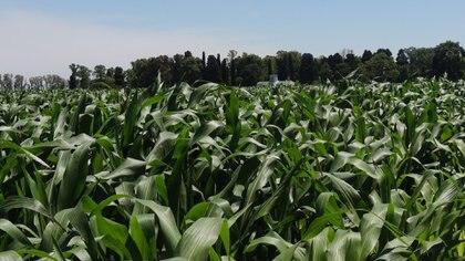 Según el último reporte del ministerio de Agricultura, hasta el pasado 16 de abril  se ha cosechado el 27% del área sembrada con maíz