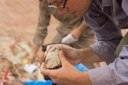 Los fósiles fueron extraídos en campo junto con la roca que lo rodea para su preparación en detalle en laboratorio (Julia S. D`Angelo)