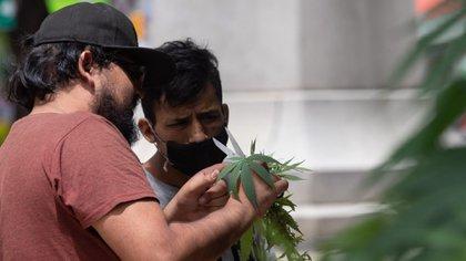 Las comisiones en San Lázaro avanzaron el dictamen de la despenalización y regulación del uso lúdico de la marihuana (Foto: Cuartoscuro)