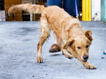 Lamentablemente la perrita falleció (Foto: EFE/Golden Rescue South Florida)