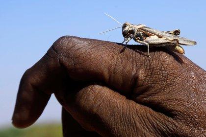 Una langosta en la mano de un campesino en Somalia. Las langostas ya han devastado pastos y cosechas en amplias regiones de África.  (REUTERS/Feisal Omar)