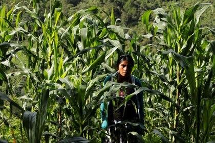 Imagen de archivo de una mujer en los campos de maíz de Yucucani, en la Sierra Madre del Sur, en el estado sureño de Guerrero, México. 18, agosto 2018 (Foto: REUTERS/Carlos Jasso)