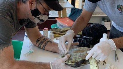 Federico Amador, haciendo curación de una tortuga