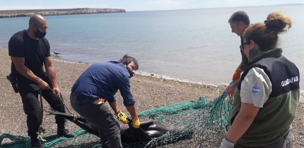 Mataron a palazos a un lobo marino (El Chubut)