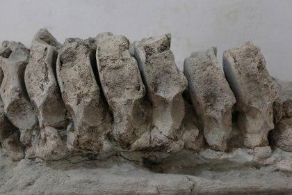 Además del mamut, se encontró un cráneo de un camello y un colmillo de un perro lobo gigante (Foto: Mireya Novo/ Cuartoscuro)