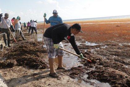 Trabajadores, vecinos y voluntarios retiraban este domingo sargazo en las costas de Xcalak (Foto: Facebook @AngelitaVillanueva)