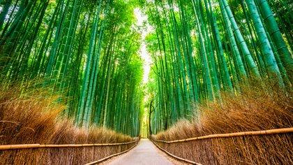 Tal como su nombre lo indica, el bosque de bambú de Arashiyama es un hermoso espacio natural (istock)