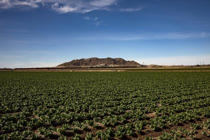 """Un muro fronterizo con México es visible en el horizonte más allá de un campo de lechugas en Yuma, Arizona, el 12 de enero de 2021. El condado de Yuma, conocido como """"la ensaladera de Estados Unidos"""", ha identificado casos de coronavirus a una tasa más alta que cualquier otro país de EE. UU. región durante la pandemia de coronavirus. (Adriana Zehbrauskas/The New York Times)"""