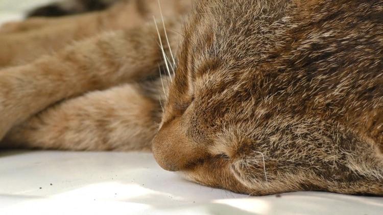 Los especialistas señalaron que no se trata de un gato doméstico, pues sus características y su ADN distan mucho del de esa especie. (Foto: AFP).