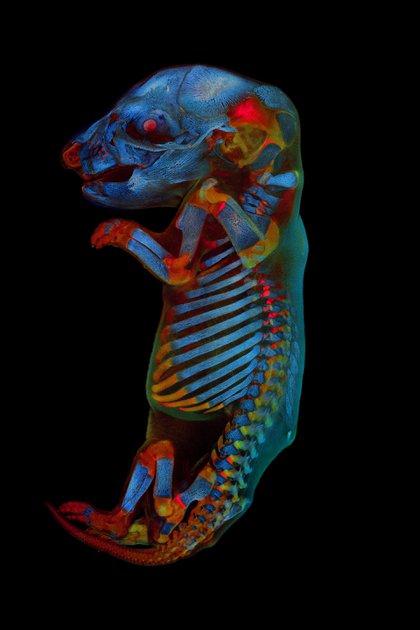 Imagen ganadora global - Werner Zuschratter (Alemania). Ilustra un embrión de rata completo. Imagen confocal a gran escala de tres canales del ejemplar fijo y aclarado. Dos canales muestran diferentes fuentes de autofluorescencia del tejido, mientras que el tercer canal muestra el esqueleto teñido de rojo alizarina
