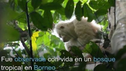 Alba, el único orangután albino conocido en el mundo, fue observado con vida y en buen estado de salud en el bosque tropical de Borneo más de un año después de su liberación, anunció la Fundación para la Supervivencia de los Orangutanes de Borneo.