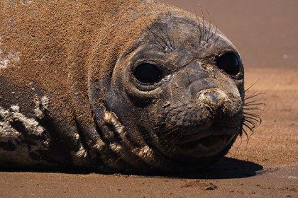 Kó fue visto por primera vez en las playas de Claromecó el 26 de diciembre (Facebook COA Tres Cauquenes)