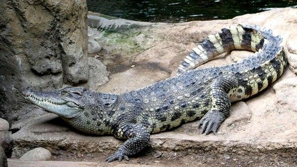El estanque de los cocodrilos en el Parque Zoológico Criadero de Caimanes de Sant Augustine había sido recientemente abierto, lo que parece que resultó atractivo para el joven