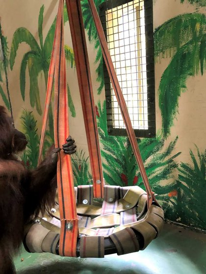 Sandra convivirá con chimpancés y otros orangutanes, especie a la que no veía desde hace dos décadas (Center for Great Apes)