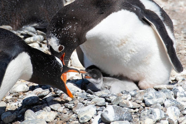 Pingüinos en la pingüinera Harberton, Ushuaia (Greenpeace)