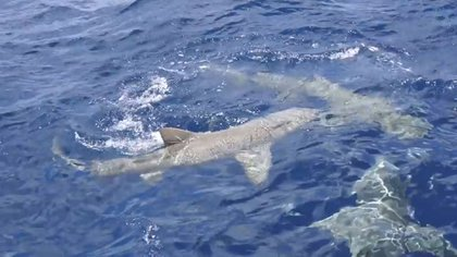 A su alrededor había varios tiburones. Uno de ellos pudo morderla mientras estaba sumergida en una jaula protectora (YouTube)
