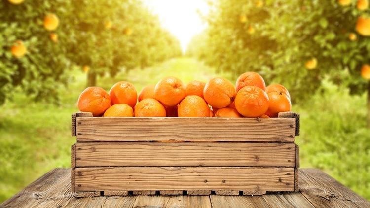 Según el informe de Coninagro, por la mandarina o la naranja para jugo, el productor cobra entre $ 8 y $ 10 por kilo (Shutterstock)
