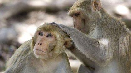En la búsqueda de una vacuna contra el COVID-19, los monos —sobre todo el macaco Rhesus— se han convertido en un recurso que escasea. (AP)
