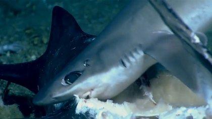 Los tiburones generalmente nadan solos, sin embargo en este evento se encontraban 11, aprovecharon para comer la enorme presa de pez espada Foto: Impresión de pantalla del video de NOAA