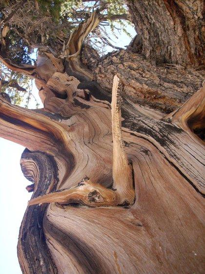 Una manera conocida de medir la edad de un árbol consiste en contar los anillos en su tronco: un anillo equivale a un año de crecimiento. Es un proceso conocido como dendrocronología