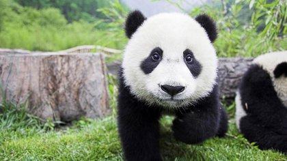 La cantidad de osos pandas subió a 2.060 ejemplares. En la década del '80 era menor a 1.200