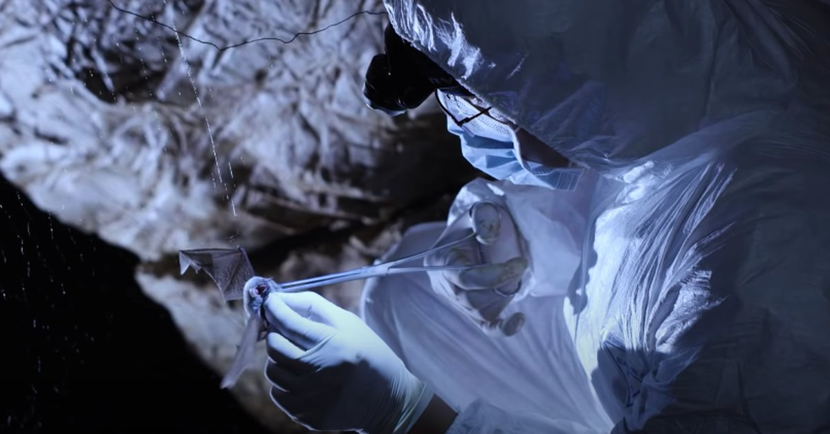 The video that reveals how in Wuhan bats are hunted and manipulated for scientific research