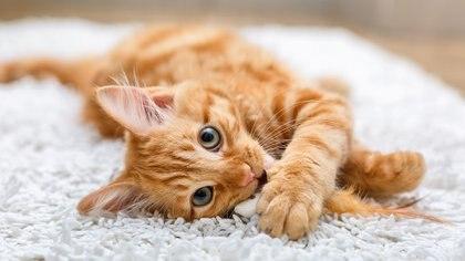 Los gatos son animales independientes y libres, contrario a los perros que son más dependientes de sus dueños