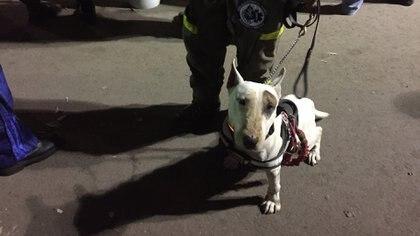 Lord, de los pocos bull terrier de rescate en México. (Infobae)