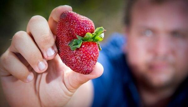 Un productor australiano muestra una de sus fresas, en medio del escándalo que preocupa a la región (AFP)