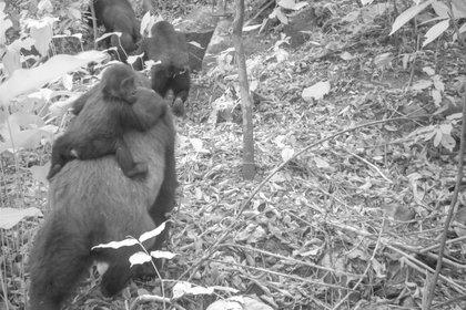 Esta imagen tomada por una cámara automática muestra a una gorila adulta con una cría pequeña a la espalda en los montes Mbe de Nigeria, el jueves 30 de enero de 2020. Un equipo de conservacionistas logró las primeras imágenes de un grupo de gorilas del río Cross, una subespecie poco común, con varias crías en los montes Mbe de Nigeria. La imagen demuestra que la subespecie, que se temió pudiera haberse extinguido, se está reproduciendo en medio de esfuerzos por protegerla. (WCS Nigeria via AP)