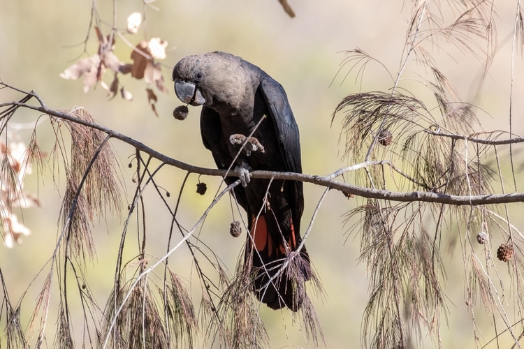 Cacatúa negra brillante (Shutterstock)