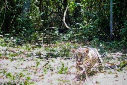 Yaguaretés en el Iberá: nacieron dos cachorros y avanza con éxito su  reintroducción - Infobae