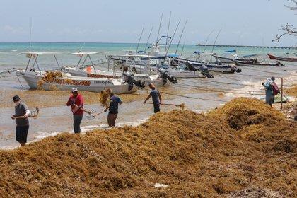 Trabajadores recolectan el alga de sargazo en Playa del Carmen, en el estado de Quintana Roo (Foto: EFE)