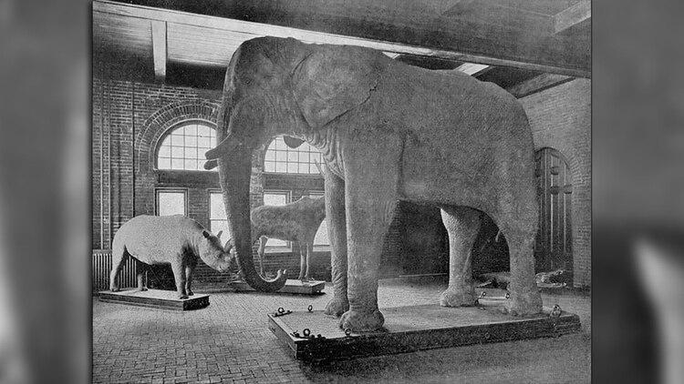 El cuerpo de Jumbo embalsamado fue exhibido en la Universidad de Massachusetts.
