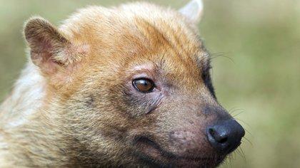 Lograron fotografiar por primera vez un zorro pitoco en Argentina