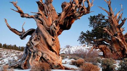 Especialistas descubrieron el árbol más longevo del mundo. No existen fotografías ni ubicación exacta para evitar daños en el ejemplar encontrado