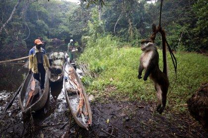 Cazadores en en la selva de Zaire. De estos animales salvajes provienen los virus que producen pandemias como la del Covid19. (Thomas Nicolon / Reuters).