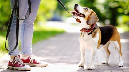 Los paseos regulares en los perros son la clave para una salud y estado físico pleno de las mascotas (iStock)