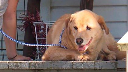 Imagen de Cleo, la perra de 4 años que realizó un viaje de más de 90 kilómetros para encontrar su antiguo hogar (Foto: KMBC News)