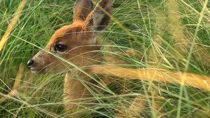 En nuestro país, el ciervo de los pantanos habita en los humedales del río Paraná