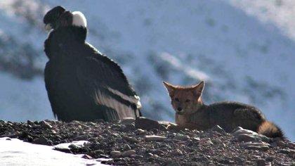 Un imponente cóndor y un hermoso zorro, juntos en el Aconcagua. (Guardaparques de la Dirección de Recursos Naturales y Renovables de Mendoza.)