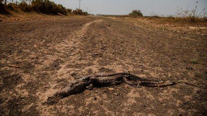 Un caimán muerto en una zona pantanosa seca que se quemó en los incendios, en el estado de Mato Grosso, Brasil (Maria Magdalena Arrellaga/The New York Times)