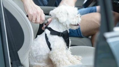 """El animal -al igual que las personas- adentro del auto debe viajar atado con una correa que lo retenga al asiento. Un """"cinturón de seguridad"""" para perros y gatos"""